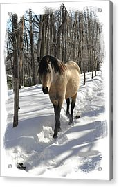 The Paso Fino Stallion Named Brio Acrylic Print by Patricia Keller