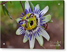 The Passion Flower Garden Acrylic Print by Janice Rae Pariza