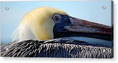 The Pelican Acrylic Print