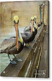 The Pelican Gang Acrylic Print by Steven Reed