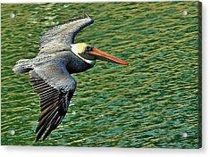 The Pelican Glide Acrylic Print