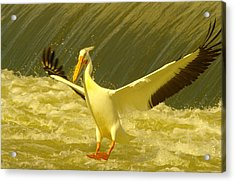 The Pelican Lands Acrylic Print by Jeff Swan