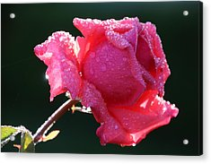 The Perfect Rose Acrylic Print by Michael Williams