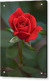 The Perfect Rose Acrylic Print