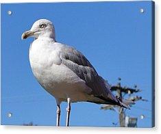 The Perfect Sea Gull  Acrylic Print