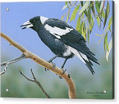 The Pied Piper - Australian Magpie Acrylic Print by Frances McMahon