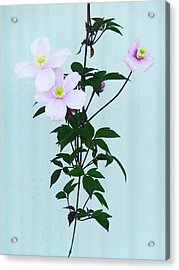The Pink Clematis Acrylic Print by Steve Taylor
