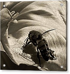 The Pollinator Acrylic Print by Chris Berry