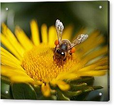 The Pollinator Acrylic Print by Rona Black