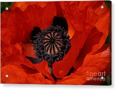 The Poppy Is Also A Flower Acrylic Print