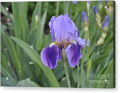 Acrylic Print featuring the photograph The Purple Iris by Cheryl McClure
