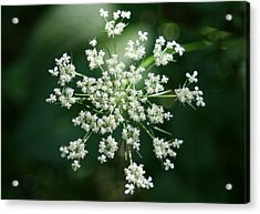 The Queen Of Lace Acrylic Print by Barbara S Nickerson