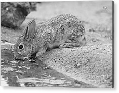The Rabbit And The Water Acrylic Print by Ruth Jolly