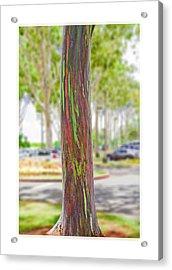 Acrylic Print featuring the photograph The Rainbow Eucalyptus Tree by MaryJane Armstrong