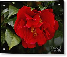 The Red Camellia  Acrylic Print by James C Thomas