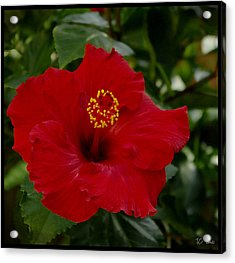 Acrylic Print featuring the photograph  Red Hibiscus by James C Thomas