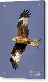 The Red Kite Acrylic Print