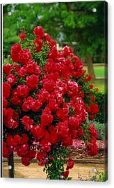 The Red Tree Acrylic Print by Robert Bray