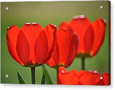 The Red Tulips Acrylic Print