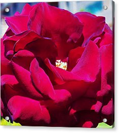 The Red Velvet Rose Acrylic Print by Jan Moore