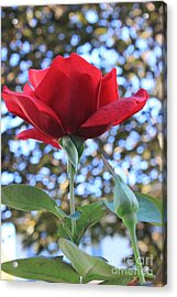 The Rose And Bud Acrylic Print