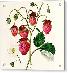 The Roseberry Strawberry Acrylic Print by Edwin Dalton Smith