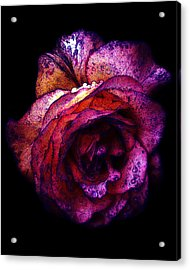 The Royal Rose Acrylic Print by Stephanie Hollingsworth