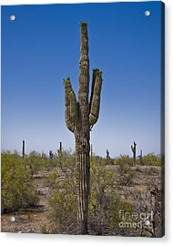 The Saguaro Cactus Ready To Bloom Acrylic Print by Kirt Tisdale