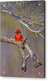 The Scarlet Letter Acrylic Print by Gary Holmes
