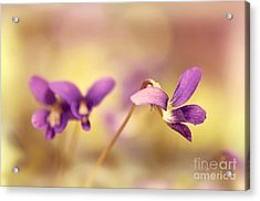 The Secret World Of Wild Violets Acrylic Print by Lois Bryan