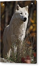 Acrylic Print featuring the photograph The Sentinel by Wolves Only