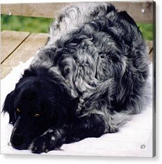 Acrylic Print featuring the photograph The Shaggy Dog Named Shaddy by Marian Cates