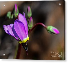 The Shooting Star Wildflower Acrylic Print