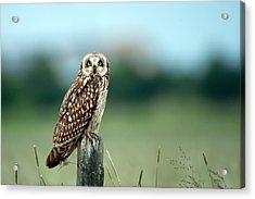 The Short-eared Owl  Acrylic Print