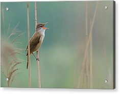 The Singer Of The Reed Acrylic Print