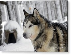 The Smile Of A Queen Acrylic Print by Arik Baltinester