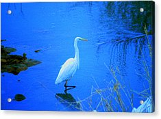 The Snowy White Egret Acrylic Print