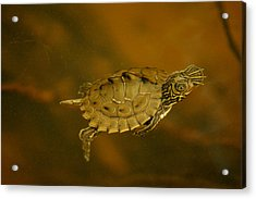 The Southeastern Map Turtle Acrylic Print
