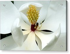 The Southern Magnolia Acrylic Print by Kim Pate