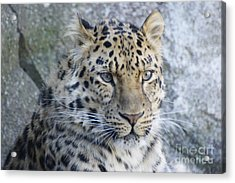 The Stare Of A Leopard Acrylic Print