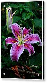 The Stargazer Lily  Acrylic Print by James C Thomas