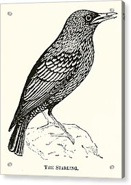 The Starling Acrylic Print by English School