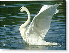 The Swan Rises  Acrylic Print by Jeff Swan