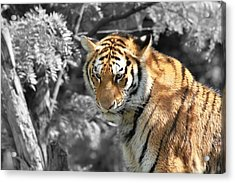 The Tiger Acrylic Print by Dan Sproul