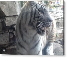 Acrylic Print featuring the photograph The Tiger Outside The Window  by Alan Lakin