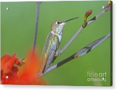 The Tongue Of A Humming Bird  Acrylic Print by Jeff Swan