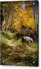 The Trail In Gold  Acrylic Print by Meredith Mazutis
