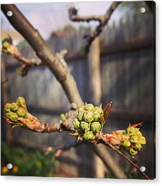 The Trees Are Budding Acrylic Print