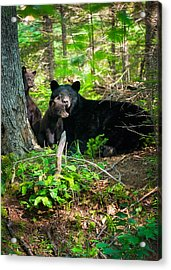The Ultimate Single Mother Black Bear Sow And Cubs Acrylic Print