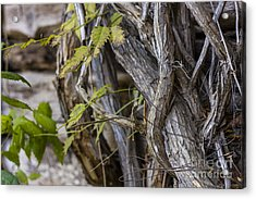 Acrylic Print featuring the photograph The Vines by Amber Kresge